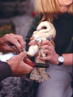 Ring attached to Barn Owl