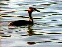 Great Crested Grebe @ Langold Lake
