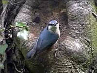 Nuthatch @ Roche Abbey