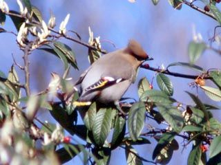 Waxwing feeding on berries